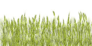 Green wheat. Green grass illustration against white background Stock Images