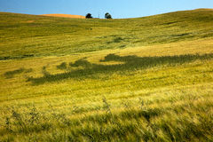 Green Wheat Grass Patterns Palouse Washington Royalty Free Stock Image