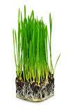 Green wheat grass with roots. Isolated on white background Stock Photography
