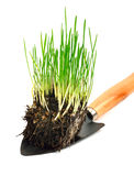 Green wheat grass with roots in the shovel. Isolated on white background Stock Images