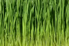 Green wheat grass with water drops royalty free stock images