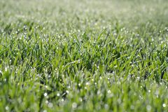 Green wheat grass with water drops. Wheat shoots on a field in the sunlight royalty free stock photos