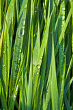 Green Wheat Grass With Dewdrops Royalty Free Stock Photo