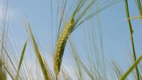 Green wheat growing in the field. stock footage