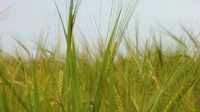 Green wheat growing in the field. stock video