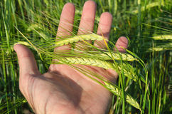 Green wheat in hand Royalty Free Stock Images