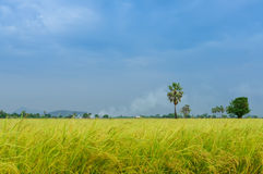 Green Wheat Head in Cultivated Agricultural Field. Blurred of Green Wheat Head in Cultivated Agricultural Field, softlight from sunshine landscape view of Toddy Stock Images