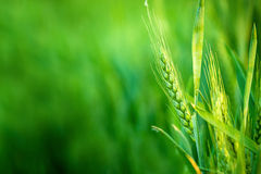 Green Wheat Head in Cultivated Agricultural Field Stock Photos