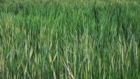 Green Wheat Heads in Cultivated Agricultural Field stock footage