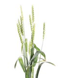 Green wheat isolated on white Royalty Free Stock Image