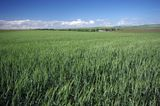 Green wheat landscape Royalty Free Stock Images