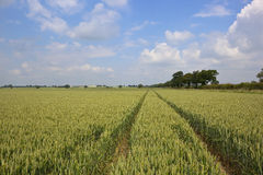 Green wheat landscape Royalty Free Stock Photos