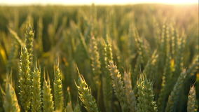 Green wheat  lit by sunlight stock video