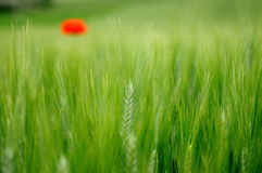 Green wheat and lone poppy. A lone poppy out of focus in background in the mid of a wheat field in spring Royalty Free Stock Photography