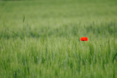 Green wheat and lone poppy. A lone poppy stands in the mid of a wheat field in spring Stock Photography