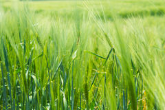 Green wheat meadow Stock Photo