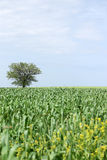 Green wheat and one tree Royalty Free Stock Image