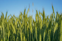 Green Wheat Plant Royalty Free Stock Image
