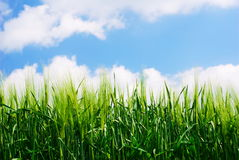 Green wheat plant details. With blue sky royalty free stock images