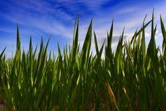 Green wheat plants under blue sky Stock Photos