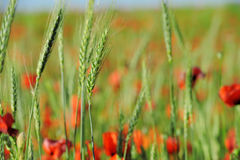 Green wheat in a poppies field Royalty Free Stock Images