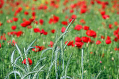 Green wheat and poppies flower Stock Photos
