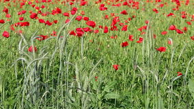 Green wheat and poppy flowers stock video