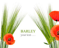 Green Wheat with red poppy Stock Image