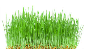 Green wheat seedlings on blurred background. Royalty Free Stock Photo