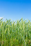Green wheat with sky Royalty Free Stock Photo