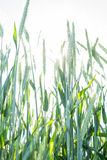 Green wheat with sky Royalty Free Stock Photos
