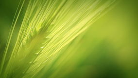 Green wheat spica. Close-up Stock Photography