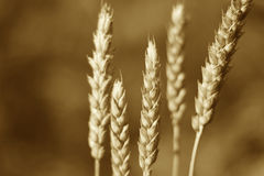 Green wheat spike, sepia image Royalty Free Stock Image