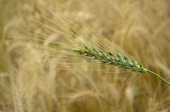 Green Wheat Spikelets Royalty Free Stock Photography