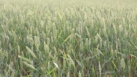 Green wheat spikelets on the field swing in the wind. Daytime, natural lighting stock video