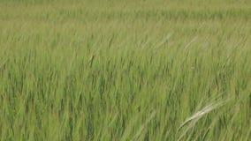Green Wheat Spikelets medium shot stock footage