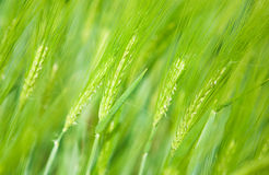Green wheat spikes Stock Photo