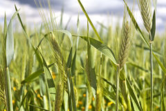 Green wheat spikes Stock Photography