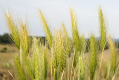 Spikes of wheat. Green wheat spikes closeup at a wheat field Royalty Free Stock Image
