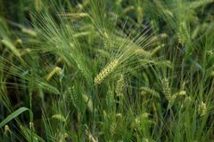 Green Wheat Spikes. Wheat Field. Green Wheat Spikes Royalty Free Stock Image