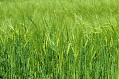 Green wheat spikes in a field Royalty Free Stock Photo