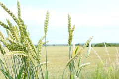 Green wheat spikes. The harvest is growing and maturing in the field Royalty Free Stock Photography