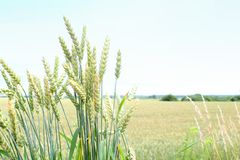 Green wheat spikes. The harvest is growing and maturing in the field Royalty Free Stock Photo