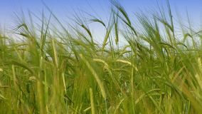 Green wheat at spring on field. agriculture stock footage