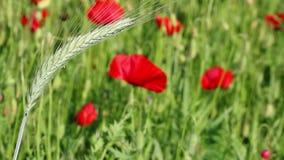 Green wheat spring season stock video footage