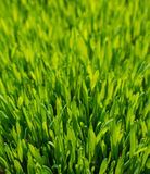 Green wheat. Sprout green wheat close up Royalty Free Stock Image