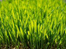 Green wheat. Sprout green wheat close up Royalty Free Stock Photography