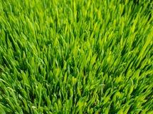 Green wheat Stock Image