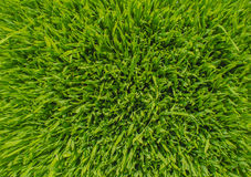 Green wheat. Sprout green wheat close up Stock Images