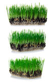 Green wheat. Sprouted green wheat in the ground on white background collage royalty free stock image